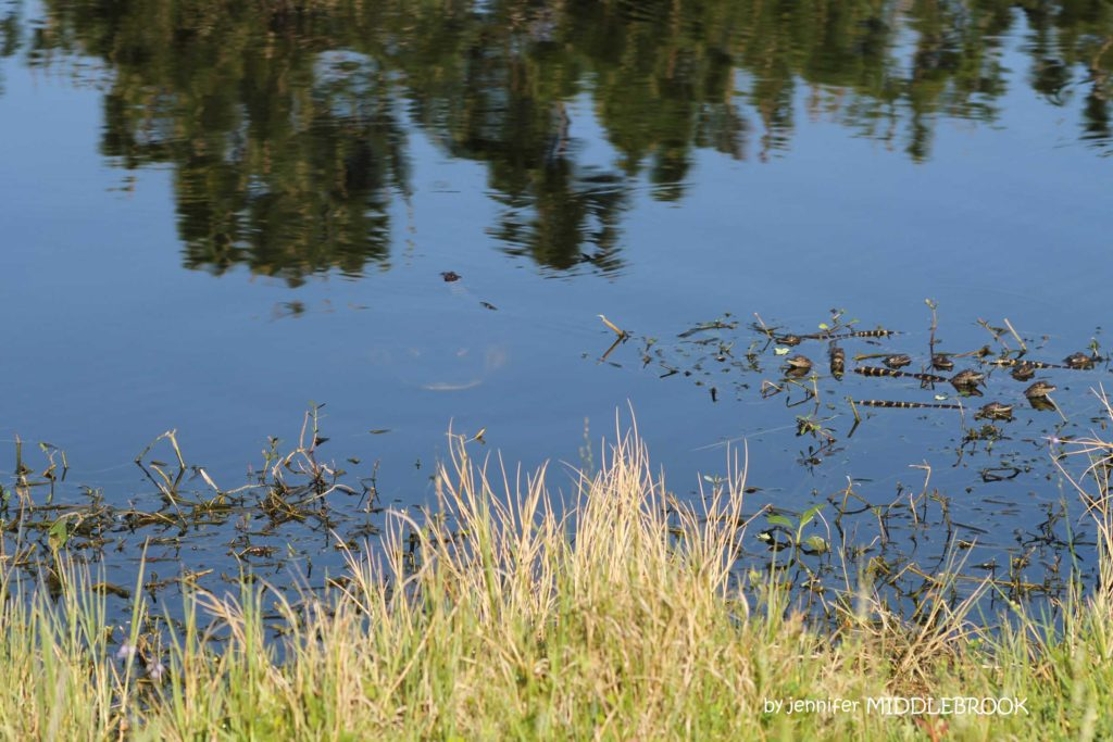 Can YOU spy Momma??? by Jennifer Middlebrook - Mama gator with baby gators