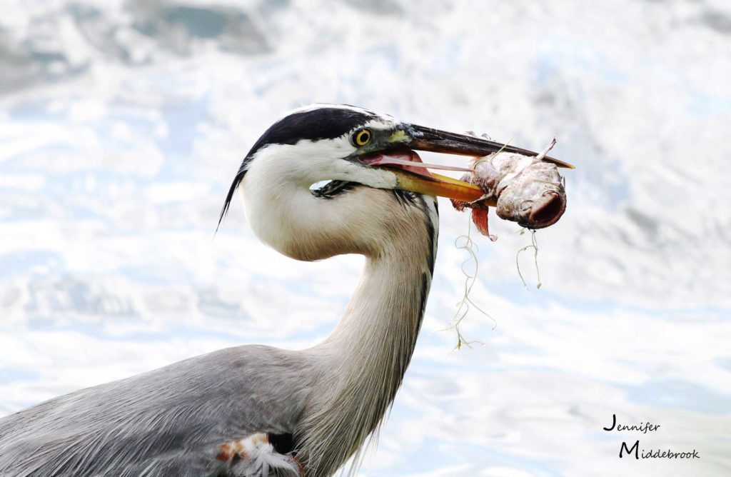 Great Blue Heron with Lunch by Jennifer Middlebrook