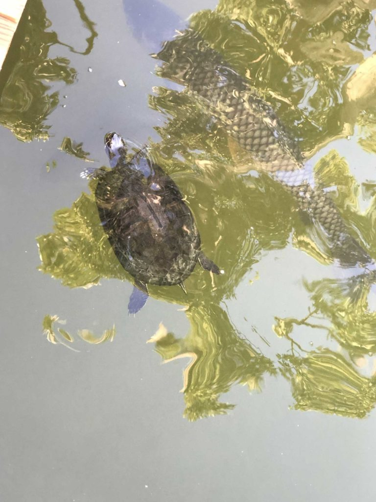 Turtle and carp in a lake by Audrey Carter