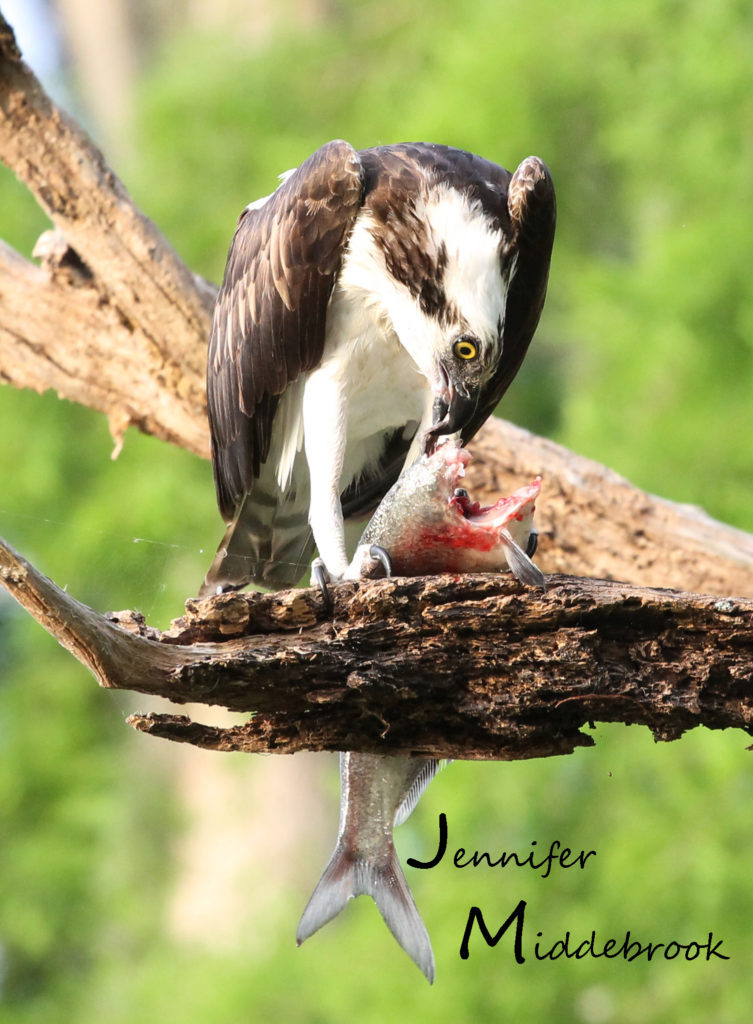 Osprey enjoying a fish meal