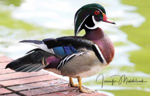 Mr. Wood Duck