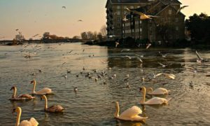 Swans on an English River