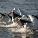 Synchronized-pelican-Wing-flap-ballet-Mike-Coltman
