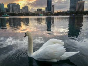 Swan on Lake Eola, Orlando