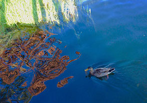 Duck in a reflecting blue lake